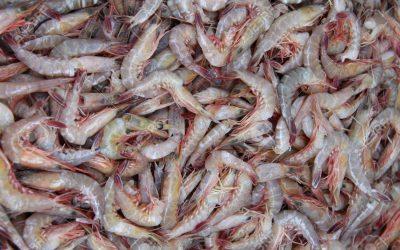 China's Customs Operation Effectively Ends Most Ecuador White Shrimp Smuggling